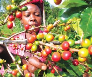 """经济价值极高 肯尼亚(Kenya)咖啡 成为全球觊觎之""""黑色黄金"""""""