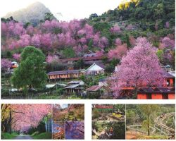 1月初到2月底 到泰国清迈(Chiangmai,Thailand) 欣赏无敌樱花美景