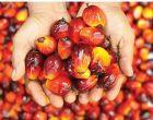 马来西亚棕油局:  放眼库存年杪降至250万公吨