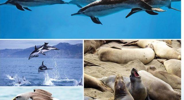 纽西兰(New Zealand)小镇  凯库拉(Kaikoura)  可让游客与鲸鱼一起在海面遨游